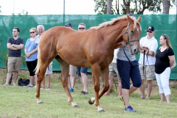 Choisir x Champalou filly at our owner open day, 20 February 2016